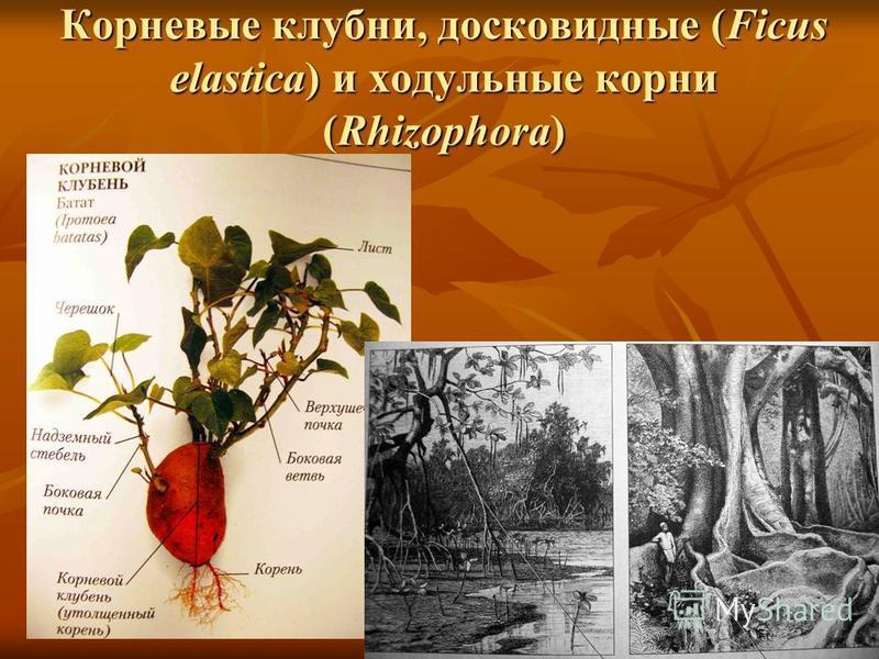 Корневые клубни, досковидные (Ficus elastica) и ходульные корни (Rhizophora)