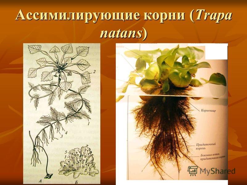 Ассимилирующие корни (Trapa natans)