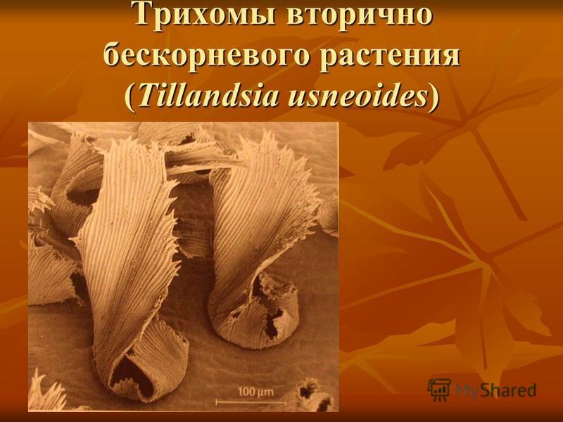 Трихомы вторично бес корневого растения (Tillandsia usneoides)