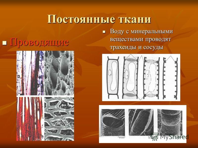 Постоянные ткани Воду с минеральными веществами проводят трахеиды и сосуды Воду с минеральными веществами проводят трахеиды и сосуды Проводящие Проводящие