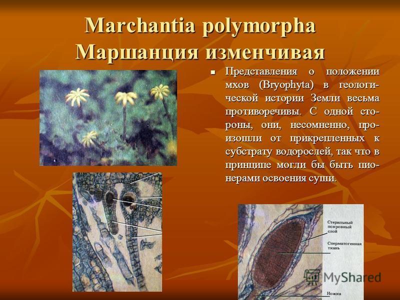 Marchantia polymorpha Маршанция изменчивая Представления о положении мхов (Bryophyta) в геологи- ческой истории Земли весьма противоречивы. С одной сто- роны, они, несомненно, про- изошли от прикрепленных к субстрату водорослей, так что в принципе мо