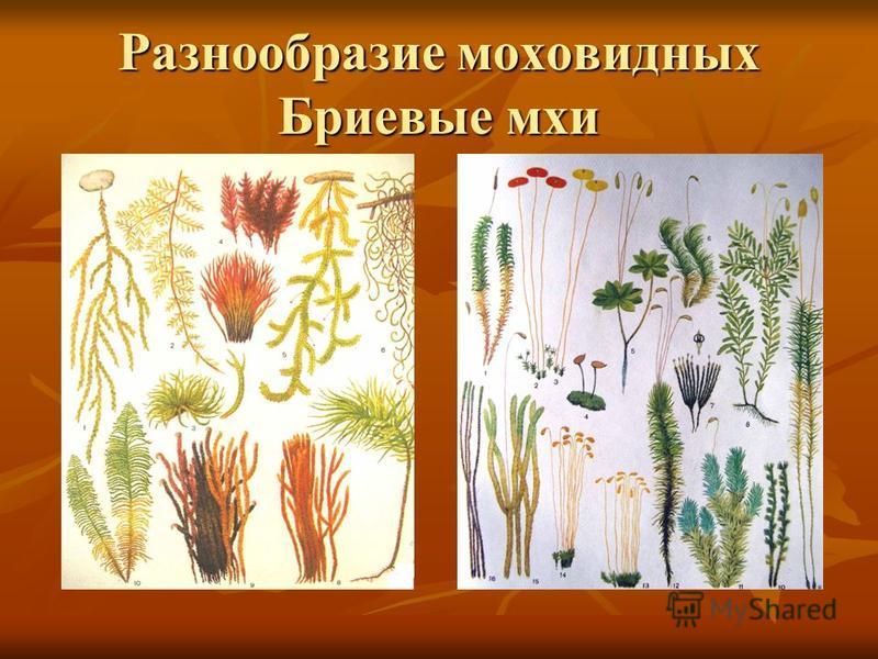 Разнообразие моховидных Бриевые мхи