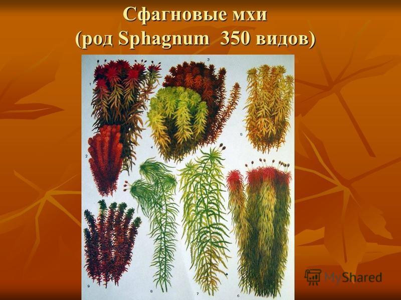 Сфагновые мхи (род Sphagnum 350 видов)