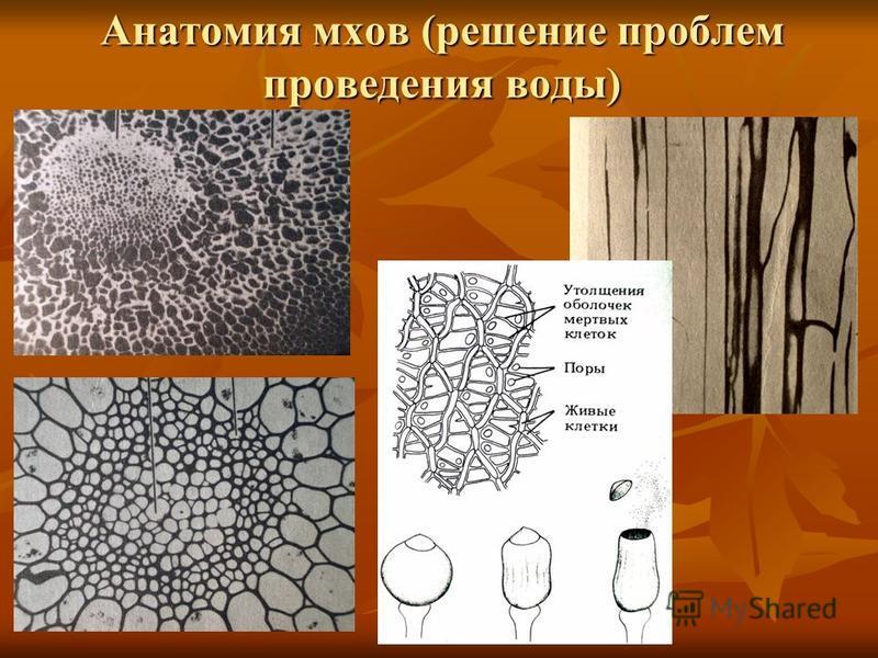 Анатомия мхов (решение проблем проведения воды)