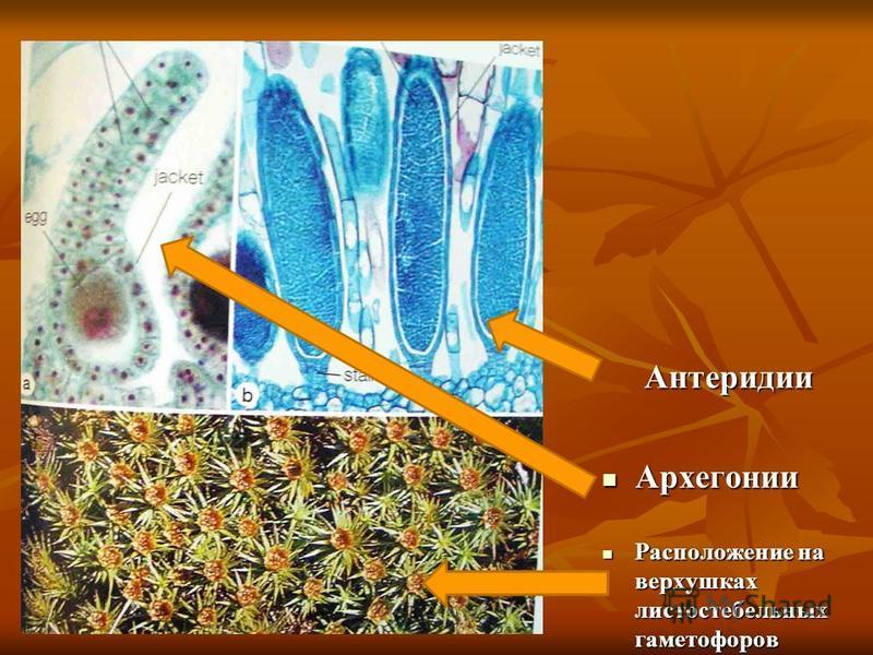 Антеридии Архегонии Архегонии Расположение на верхушках листостебельных гаметофоров Расположение на верхушках листостебельных гаметофоров