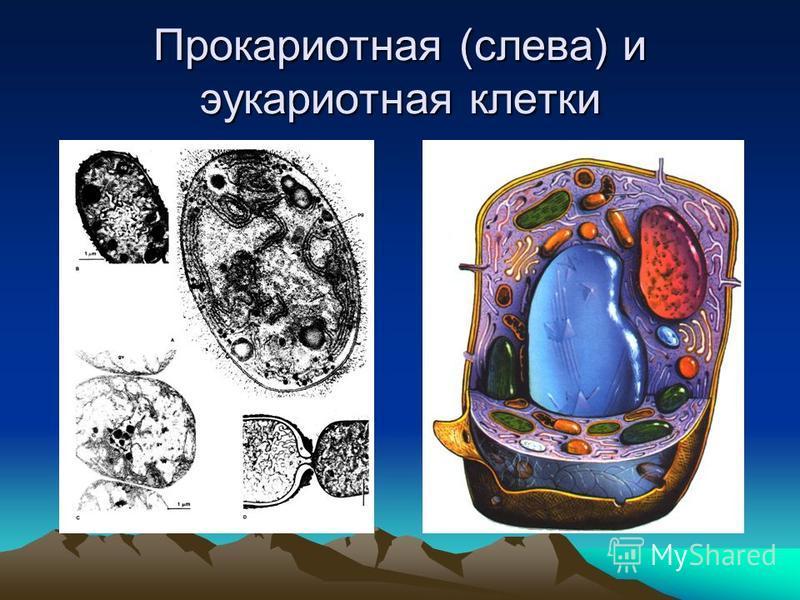 Прокариотная (слева) и эукариотная клетки