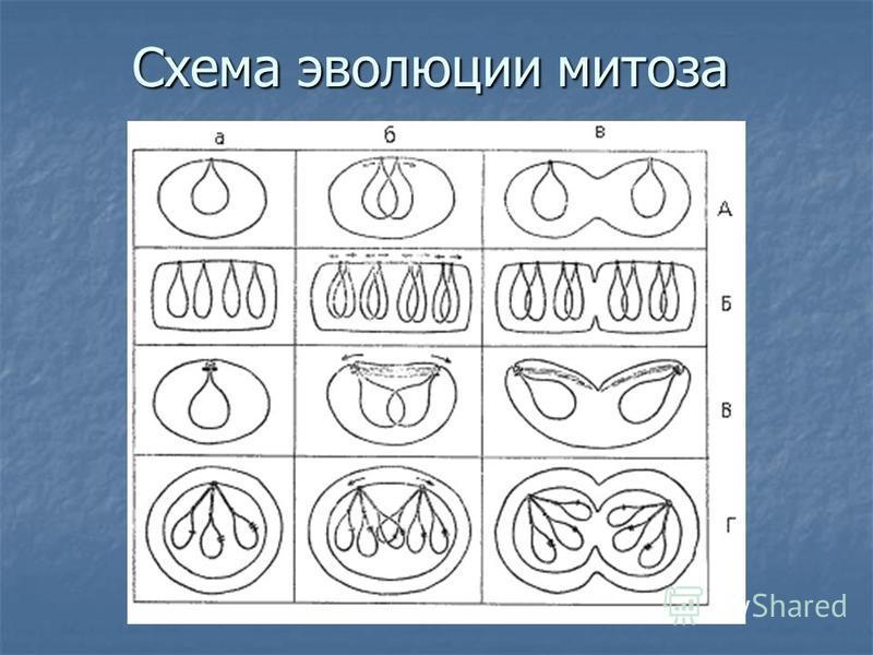 Схема эволюции митоза