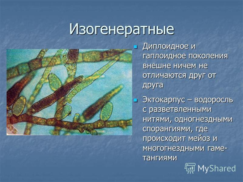 Изогенератные Диплоидное и гаплоидное поколения внешне ничем не отличаются друг от друга Диплоидное и гаплоидное поколения внешне ничем не отличаются друг от друга Эктокарпус – водоросль с разветвленными нитями, одногнездными спорангиями, где происхо