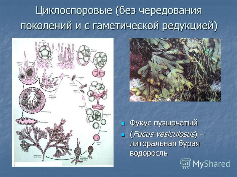 Циклоспоровые (без чередования поколений и с гаметической редукцией) Фукус пузырчатый Фукус пузырчатый (Fucus vesiculosus) – литоральная бурая водоросль (Fucus vesiculosus) – литоральная бурая водоросль