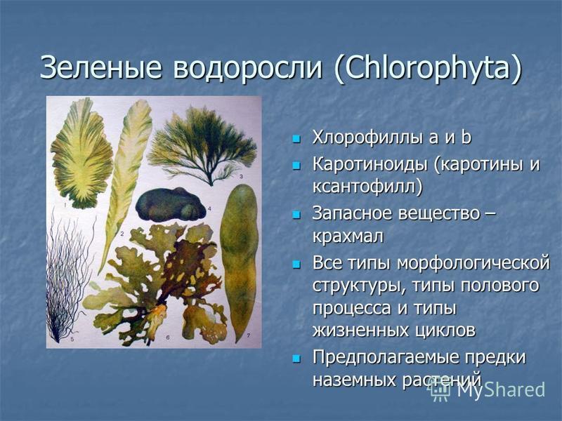 Зеленые водоросли (Chlorophyta) Хлорофиллы а и b Хлорофиллы а и b Каротиноиды (каротины и ксантофилл) Каротиноиды (каротины и ксантофилл) Запасное вещество – крахмал Запасное вещество – крахмал Все типы морфологической структуры, типы полового процес