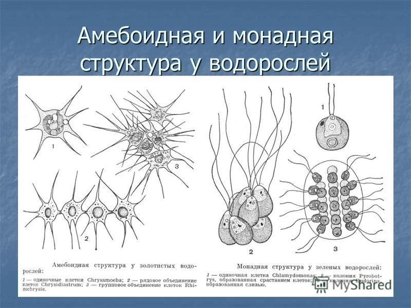 Амебоидная и монадная структура у водорослей