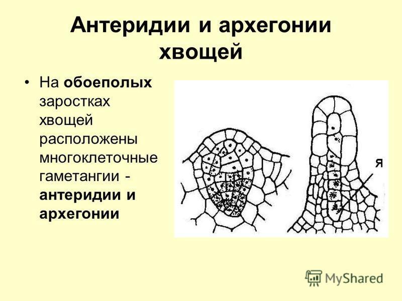 Антеридии и архегонии хвощей На обоеполых заростках хвощей расположены многоклеточные гаметангии - антеридии и архегонии Я
