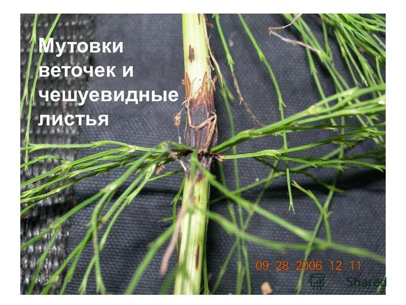 Мутовки веточек и чешуевидные листья