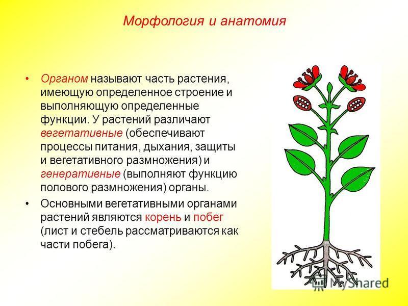 Органом называют часть растения, имеющую определенное строение и выполняющую определенные функции. У растений различают вегетативные (обеспечивают процессы питания, дыхания, защиты и вегетативного размножения) и генеративные (выполняют функцию полово