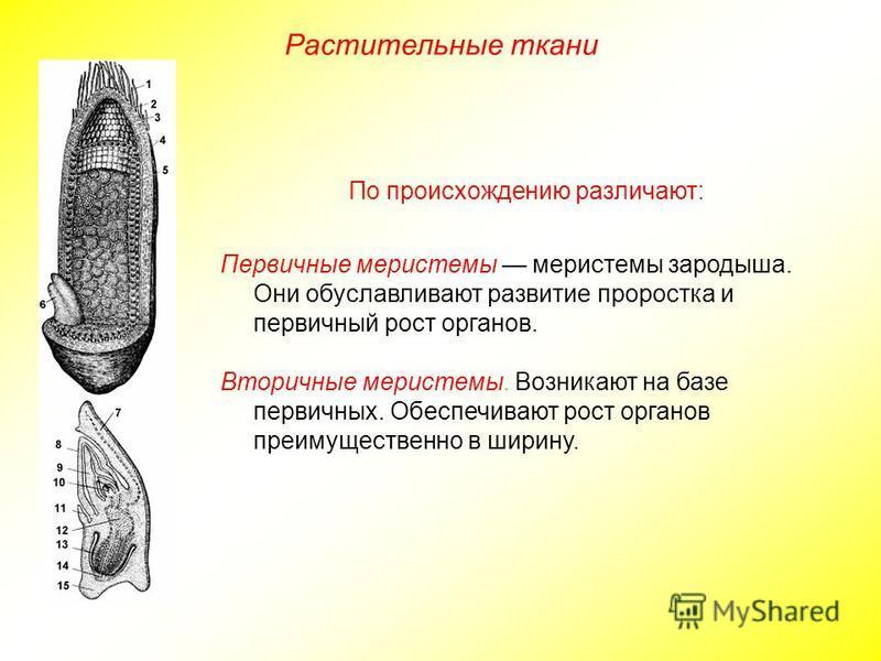 Растительные ткани По происхождению различают: Первичные меристемы меристемы зародыша. Они обуславливают развитие проростка и первичный рост органов. Вторичные меристемы. Возникают на базе первичных. Обеспечивают рост органов преимущественно в ширину