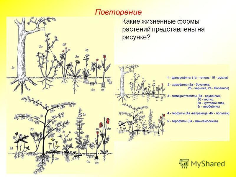 Какие жизненные формы растений представлены на рисунке?