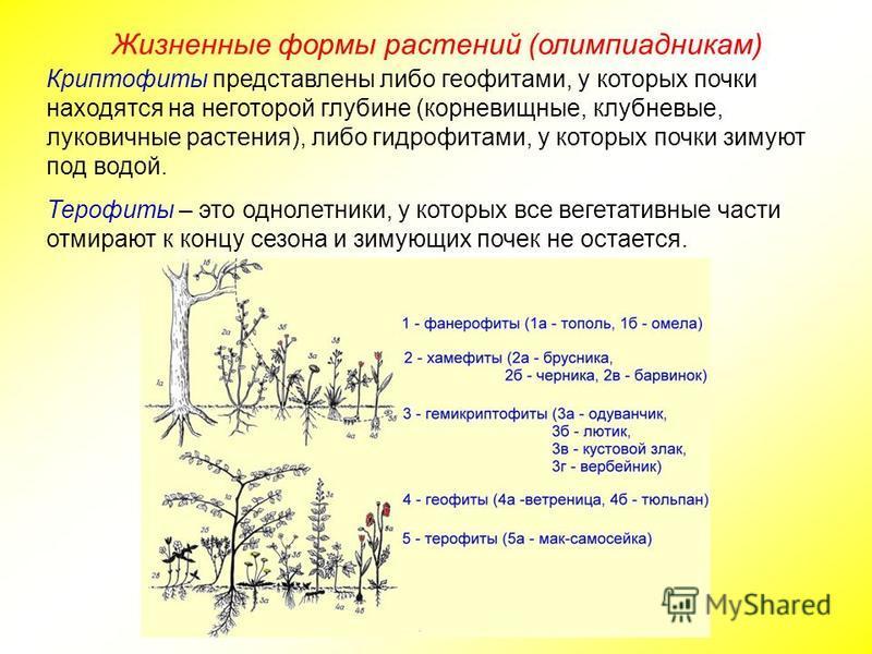 Жизненные формы растений (олимпиадникам) Криптофиты представлены либо геофитами, у которых почки находятся на некоторой глубине (корневищные, клубневые, луковичные растения), либо гидрофитами, у которых почки зимуют под водой. Терофиты – это однолетн