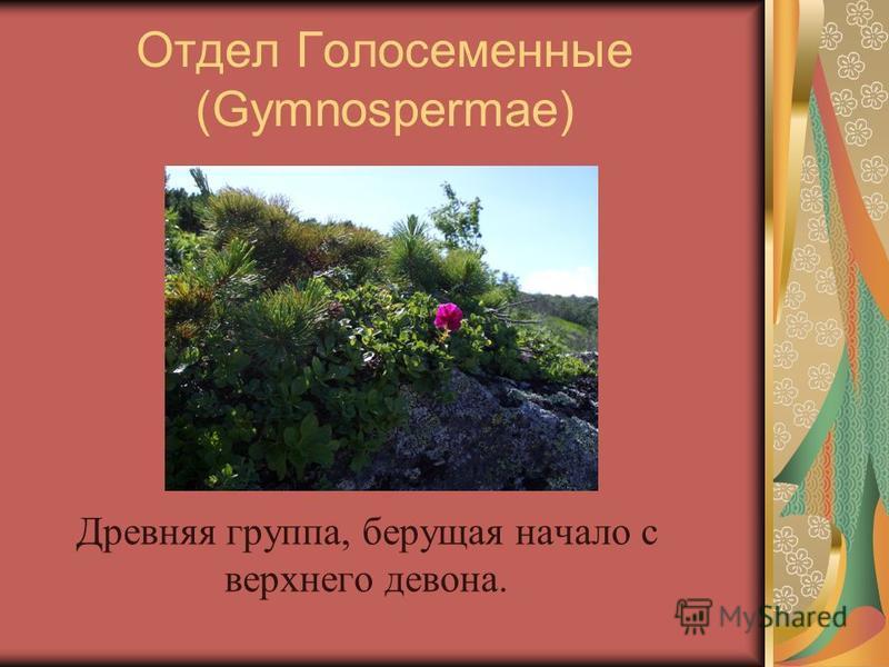 Отдел Голосеменные (Gymnospermae) Древняя группа, берущая начало с верхнего девона.