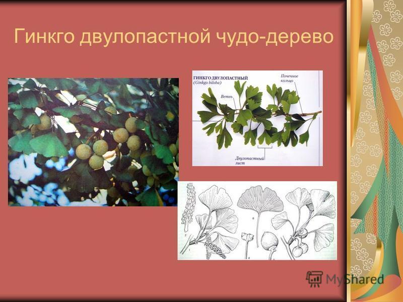 Гинкго двулопастной чудо-дерево