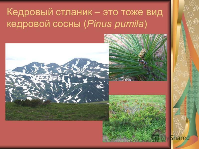 Кедровый стланик – это тоже вид кедровой сосны (Pinus pumila)