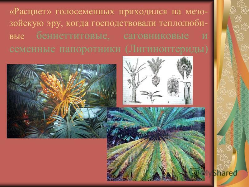 «Расцвет» голосеменных приходился на мезозойскую эру, когда господствовали теплолюбивые беннеттитовые, саговниковые и семенные папоротники (Лигиноптериды)