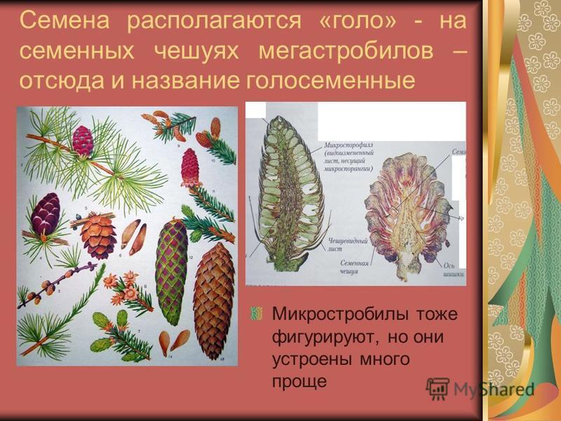 Семена располагаются «голо» - на семенных чешуях мегастробилов – отсюда и название голосеменные Микростробилы тоже фигурируют, но они устроены много проще