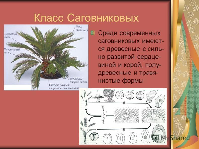 Класс Саговниковых Среди современных саговниковых имеют- ся древесные с сильно развитой сердце- виной и корой, полу- древесные и травянистые формы
