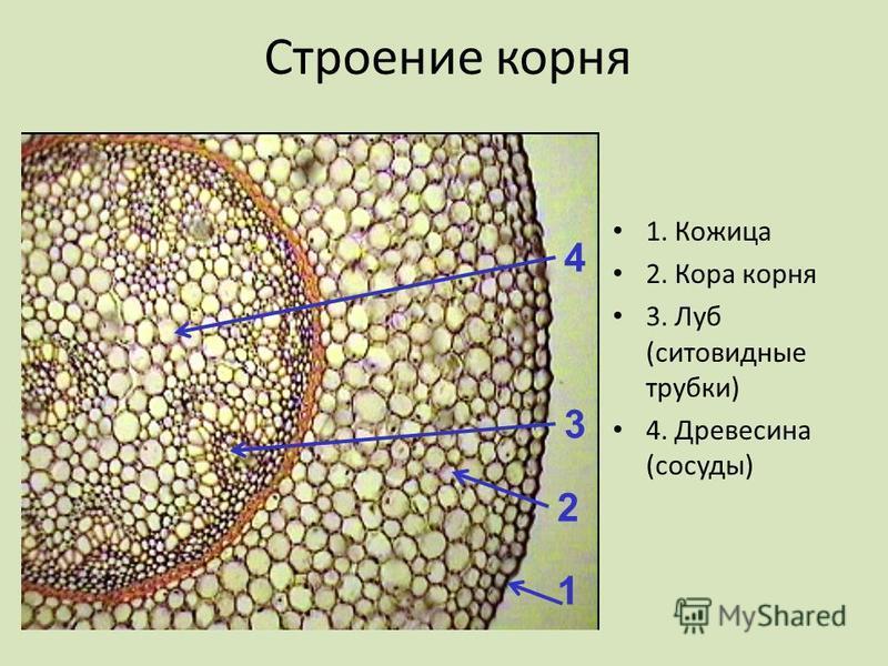 Строение корня 1. Кожица 2. Кора корня 3. Луб (ситовидные трубки) 4. Древесина (сосуды) 1 2 3 4