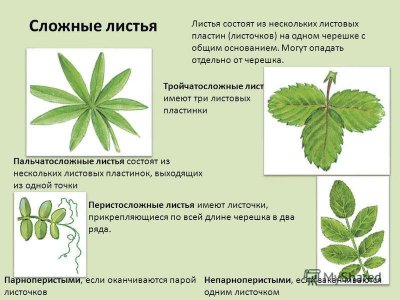 Сложные листья Листья состоят из нескольких листовых пластин (листочков) на одном черешке с общим основанием. Могут опадать отдельно от черешка. Тройчатосложные листья имеют три листовых пластинки Пальчатосложные листья состоят из нескольких листовых