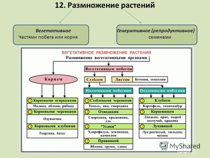 12. Размножение растений Вегетативное Частями побега или корня Генеративное (репродуктивное) семенами