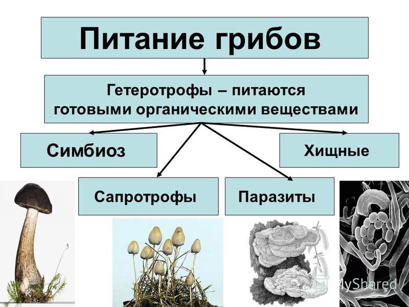 Питание грибов Гетеротрофы – питаются готовыми органическими веществами Симбиоз Сапротрофы Хищные Паразиты