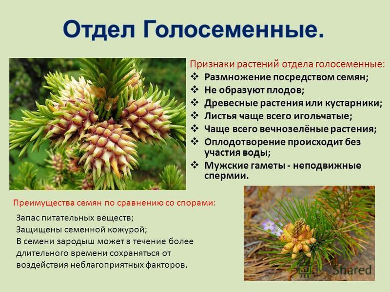 Признаки растений отдела голосеменные: Размножение посредством семян; Не образуют плодов; Древесные растения или кустарники; Листья чаще всего игольчатые; Чаще всего вечнозелёные растения; Оплодотворение происходит без участия воды; Мужские гаметы -