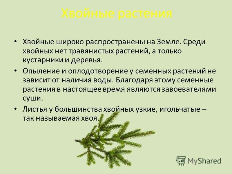 Хвойные растения Хвойные широко распространены на Земле. Среди хвойных нет травянистых растений, а только кустарники и деревья. Опыление и оплодотворение у семенных растений не зависит от наличия воды. Благодаря этому семенные растения в настоящее вр