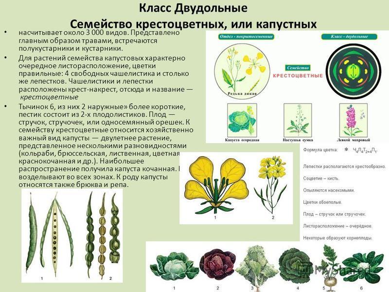 Класс Двудольные Семейство крестоцветных, или капустных насчитывает около 3 000 видов. Представлено главным образом травами, встречаются полукустарники и кустарники. Для растений семейства капустовых характерно очередное листорасположение, цветки пра