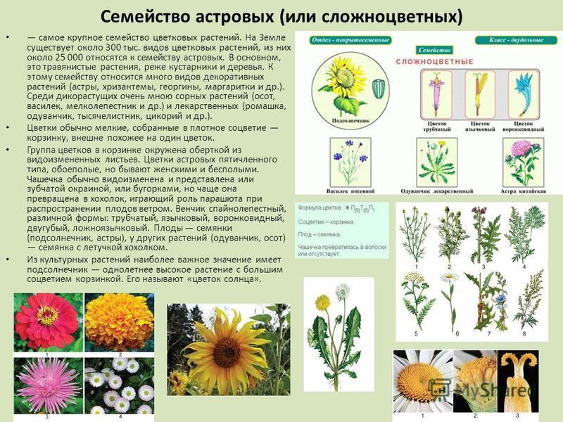 Семейство астровых (или сложноцветных) самое крупное семейство цветковых растений. На Земле существует около 300 тыс. видов цветковых растений, из них около 25 000 относятся к семейству астровых. В основном, это травянистые растения, реже кустарники