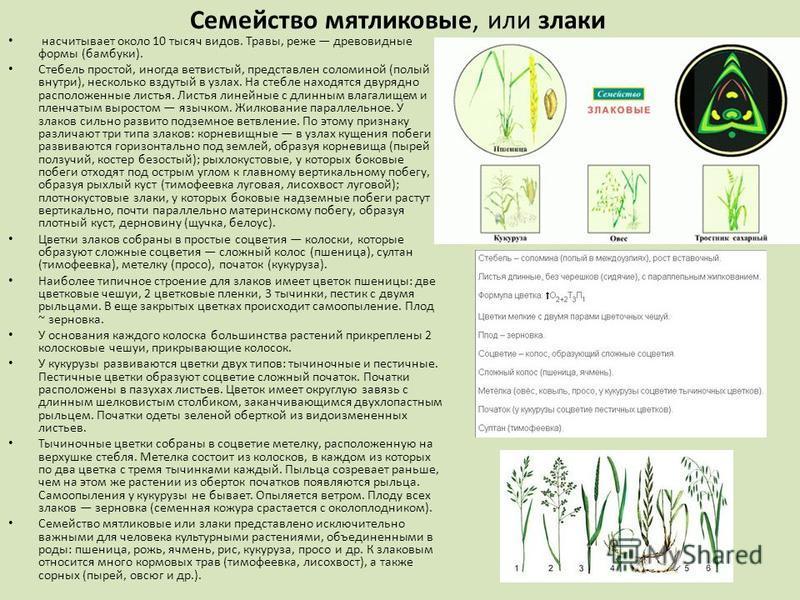 Семейство мятликовые, или злаки насчитывает около 10 тысяч видов. Травы, реже древовидные формы (бамбуки). Стебель простой, иногда ветвистый, представлен соломиной (полый внутри), несколько вздутый в узлах. На стебле находятся двурядно расположенные