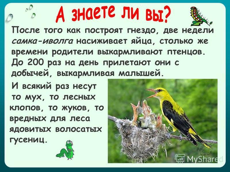И всякий раз несут то мух, то лесных клопов, то жуков, то вредных для леса ядовитых волосатых гусениц. После того как построят гнездо, две недели самка-иволга насиживает яйца, столько же времени родители выкармливают птенцов. До 200 раз на день приле