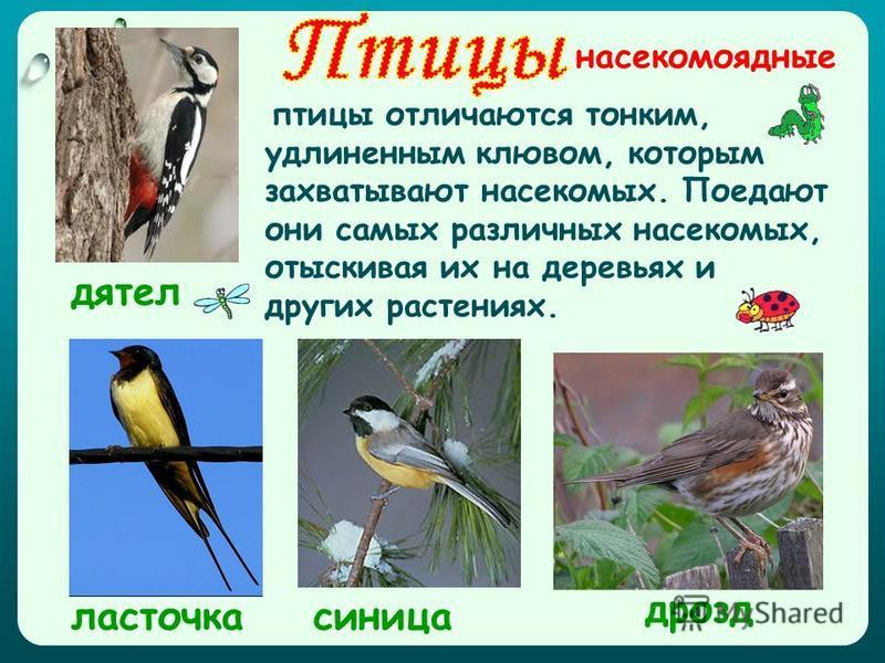 насекомоядные дрозд дятел ласточка синица птицы отличаются тонким, удлиненным клювом, которым захватывают насекомых. Поедают они самых различных насекомых, отыскивая их на деревьях и других растениях.