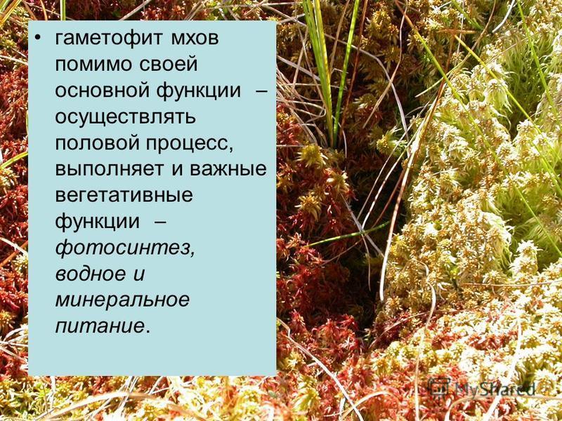 гаметофит мхов помимо своей основной функции осуществлять половой процесс, выполняет и важные вегетативные функции фотосинтез, водное и минеральное питание.