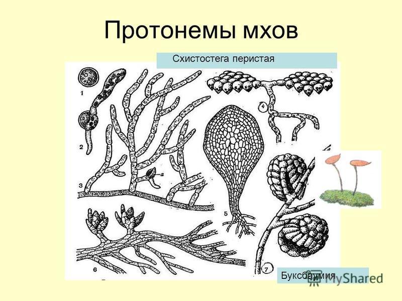 Протонемы мхов Схистостега перистая Буксбаумия