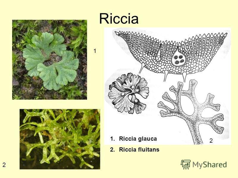 Riccia 1. Riccia glauca 2. Riccia fluitans 1 2 2