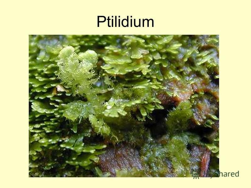 Ptilidium