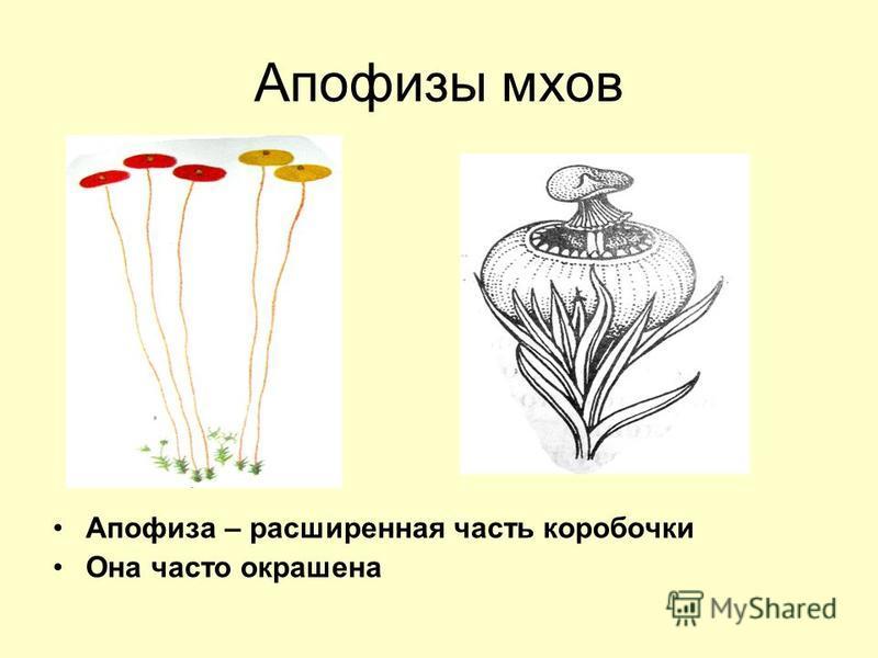 Апофизы мхов Апофиза – расширенная часть коробочки Она часто окрашена