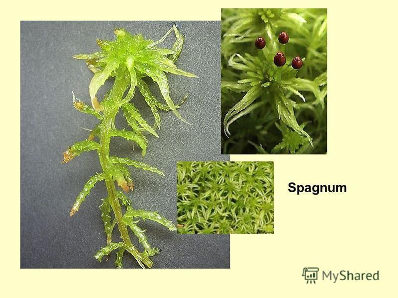 Spagnum