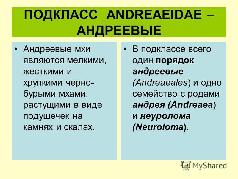 ПОДКЛАСС ANDREAEIDAE АНДРЕЕВЫЕ Андреевые мхи являются мелкими, жесткими и хрупкими черно- бурыми мхами, растущими в виде подушечек на камнях и скалах. В подклассе всего один порядок андреевые (Andreaeales) и одно семейство с родами андрея (Andreaea)