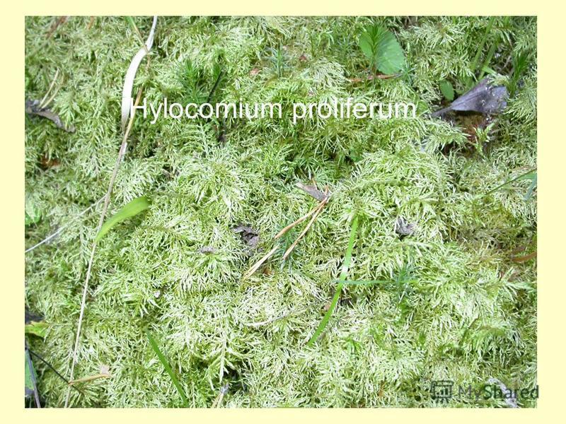 Hylocomium proliferum