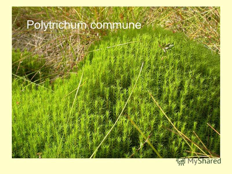 Polytrichum commune