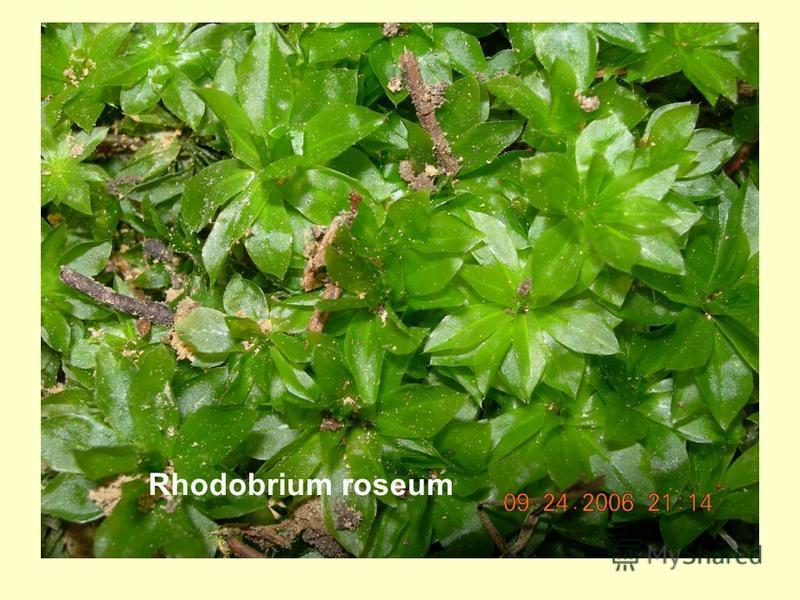 Rhodobrium roseum