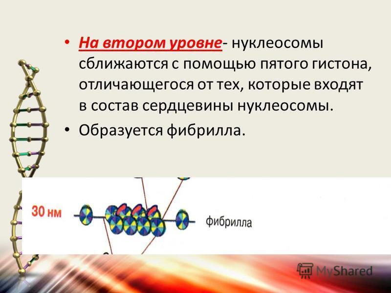 На втором уровне- нуклеосомы сближаются с помощью пятого гистона, отличающегося от тех, которые входят в состав сердцевины нуклеосомы. Образуется фибрилла.