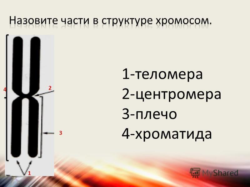 1 2 3 4 1-теломера 2-центромера 3-плечо 4-хроматида